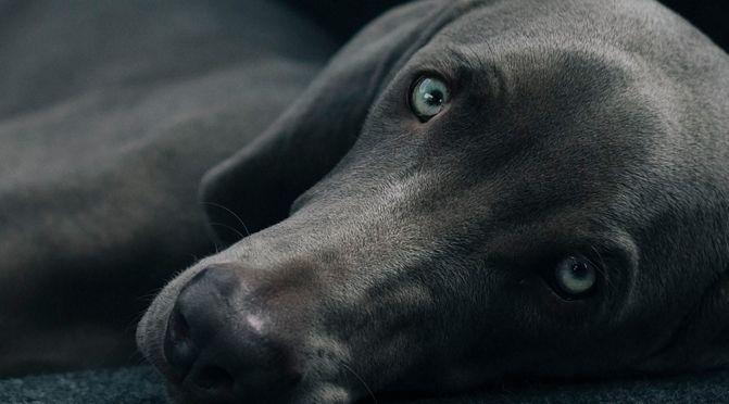 Linsentrübung beim Hund – Wird mein Hund blind?
